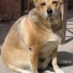 סכנות השמנת יתר בכלבים