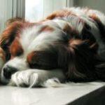לכלב יש חום מה עושים?