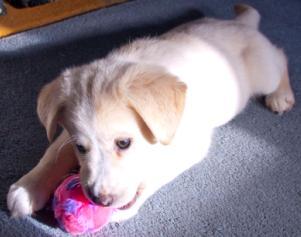 כלב עם משחק