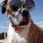 תמונה של כלב עם משקפי שמש